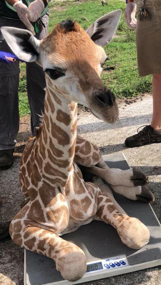 Weighing Baby Giraffe : weighing, giraffe, Weighing, Giraffe, Pictures,, Animals,, Animals