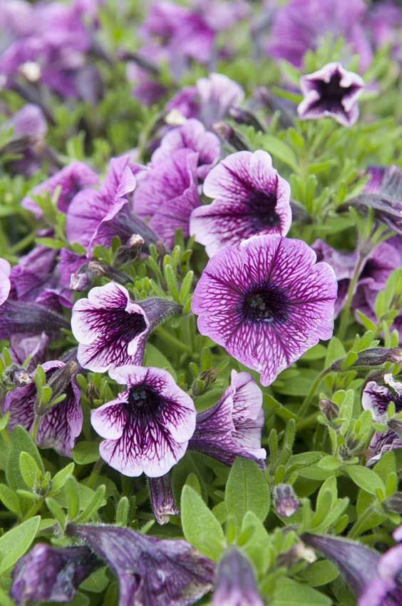 16 Different Types Of Petunias Photos In 2020 Petunias Plants Petunia Flower