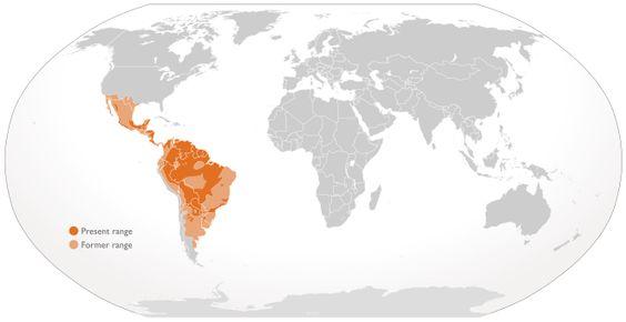 Cypron-Range Panthera onca