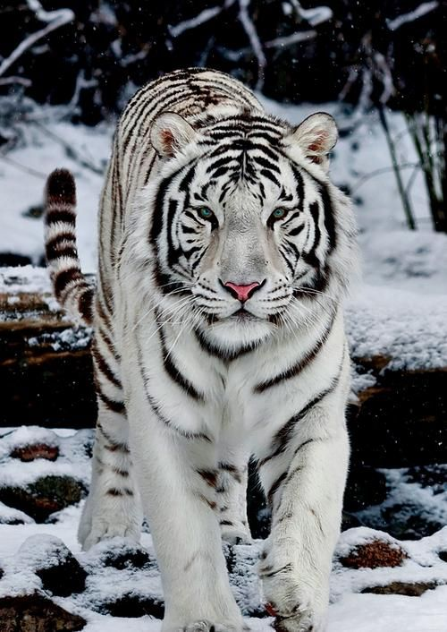 This awesome white tiger easily blends into the background. Thanks camoflage.