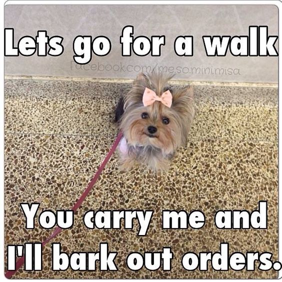 That's as usual! #dogs #pets #YorkshireTerriers Facebook.com/sodoggonefunny.  Misa                                                                                                                                                     More