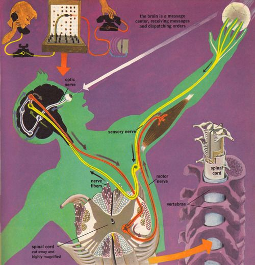 fuckyeahmedicaldiagrams:  Illustration fromThe Human Body: What It Is and How It Works, circa 1959.