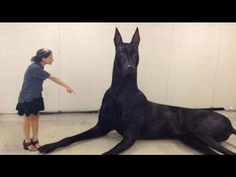 Youtube Perros Enormes Perros Gigantes Perros Raros