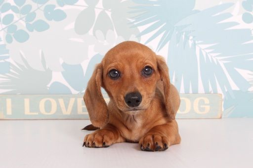Dachshund Puppy For Sale In Naples Fl Adn 67190 On Puppyfinder