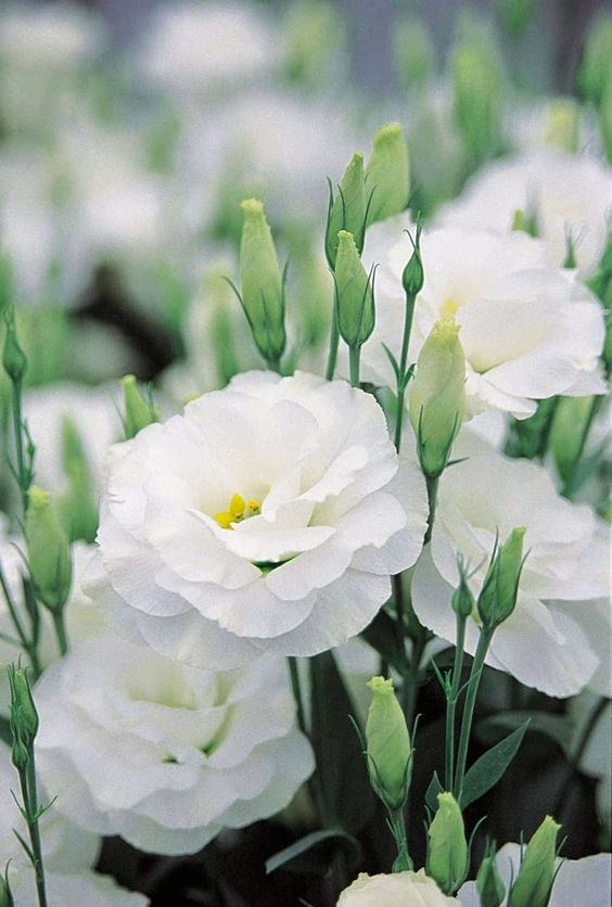 Lisianthus are beautiful and come in various colors including blush. Also a bit more affordable while still giving that ruffly texture!: