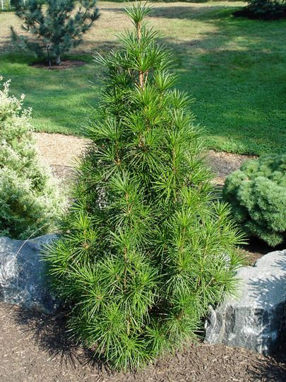 Five trees suitable for small spaces front yards pine for Slow growing trees for front yard