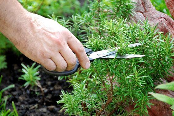 Sabías que puedes aumentar tu memoria hasta en un 75% con esta planta? Estudios demostraron que esta hierba te puede ayudar