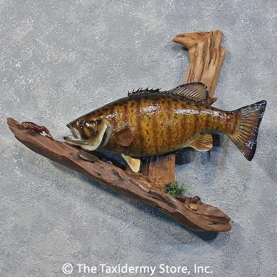 12220 e 20 smallmouth bass freshwater taxidermy fish for How to taxidermy a fish
