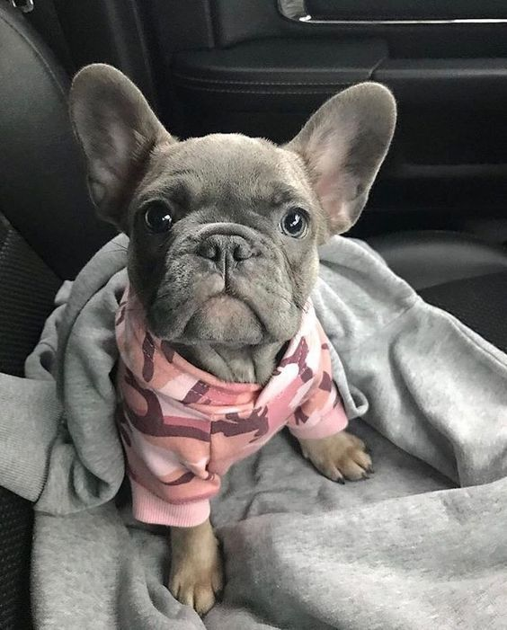 This Little Blue French Bulldog Puppy Is So Stylish Bullymake Com