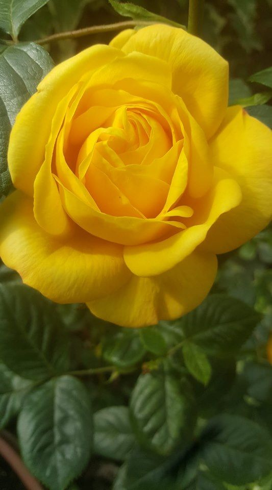 Simon Sheppard David Austin Roses May 1 First Bloom Of The Year Arthur Bell Scent Is Gorgeous London South African Flowers Yellow Flowers Pretty Flowers