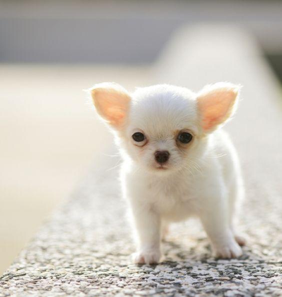 Kleinste Hunderasse der Welt - Die süßen Chihuahuas! Geht einfach nich süüüßer! !