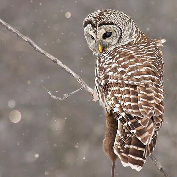 An #owl powering through the elements.  Pic via #pinterest