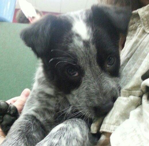 Blue Heeler Border Collie Mix Smokey Cattle Dogs Rule Heeler Puppies Grey Dog
