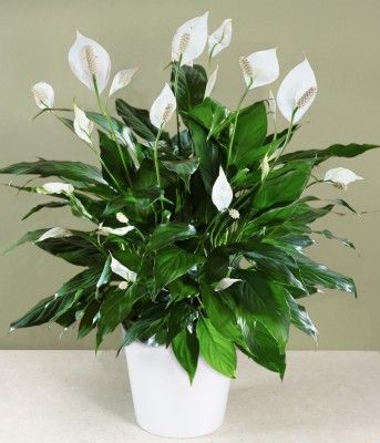 Peace lily, natural air purifier and virtually impossible to kill (I've had mine for 5 years :-)):