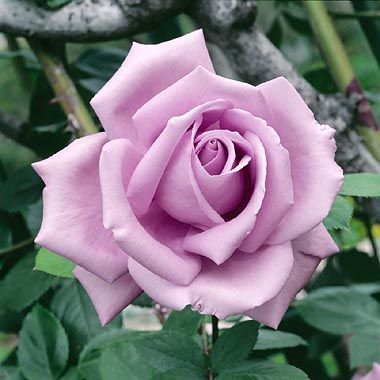 Just planted this rose called blue moon can 39 t wait for - What are blue roses called ...