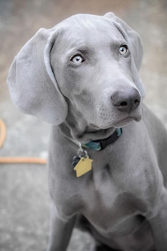 Gray Weimaraner | www.imgkid.com - The Image Kid Has It!