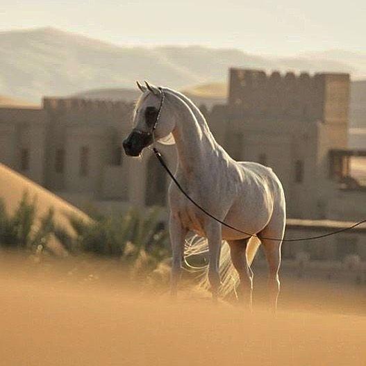 الخيل العربي On Instagram الخيول العربية الخيل العربية خيل الخيل العربي Horses Animals