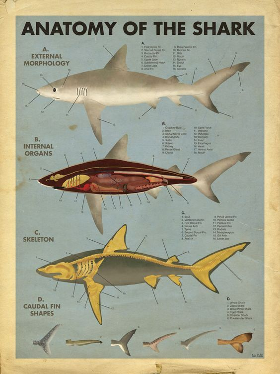 Anatomy Of The Shark External View Muscles And Skeleton Diagram Www Anatomynote Com Shark Facts Shark Animals