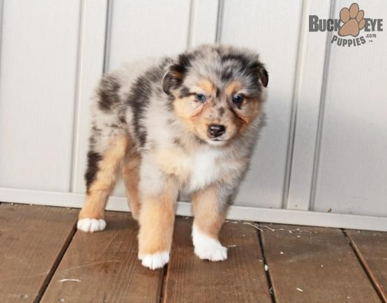 Roxie Australian Shepherd Puppy For Sale In Andover Oh In 2020