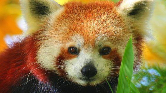 pandas vermelhos