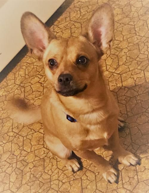 Adopt A Dog Terrier Chihuahua Mixed Short Coat In Concord