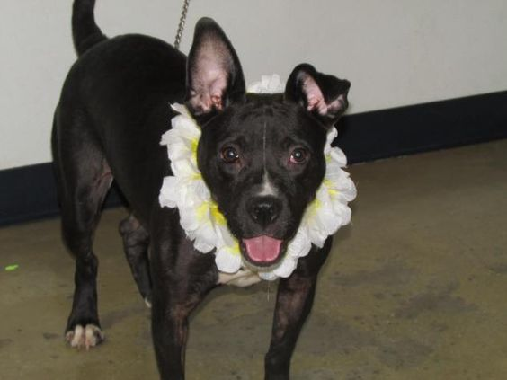 Tutti - URGENT - Richland County Dog Warden in Mansfield, Ohio - ADOPT OR FOSTER - Young Female Boxer/Pit Bull Terrier Mix