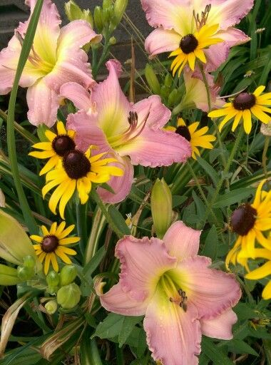 'Absolute Treasure' daylily and black-eyed susans