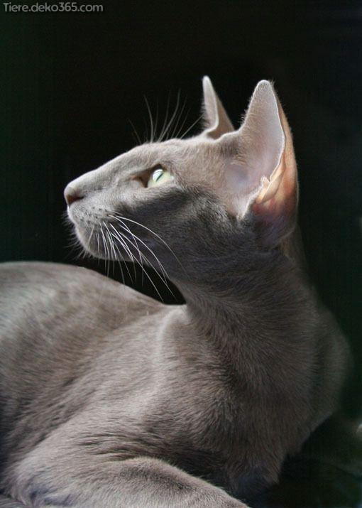 Kreative Und Grossartige Pipapo Die Sie Extra Orientalisch Kurzhaar Nicht Wussten Oriental Shorthair Cats Cats Cats Cast