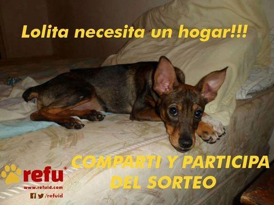 Refu ATENCION SORTEO!!  LOLITA de Cachorros sin hogar, necesita una familia.   Fue criada a mamadera por Sandra Carretero. Tiene 8 meses, esta castrada y vacunada. Es hermosa, pesa 8 kilos y no crece mas!!! ...https://www.facebook.com/refuid/photos/a.246988635426014.1073741828.246808648777346/299914293466781/?type=1