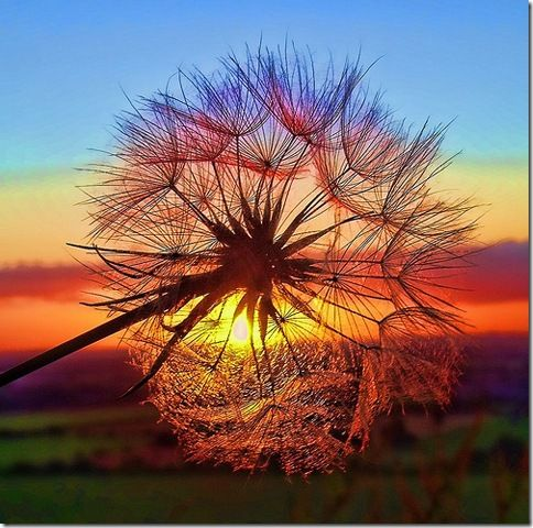 who would of thought a dandelion could look so awesome -  make a wish !: Makeawish, Favorite Places Spaces, Sunrisesunset, Color, Sunset Dandelion, Beautiful Sunset, Sunrise Sunset, Flower, Dandelion Sunset