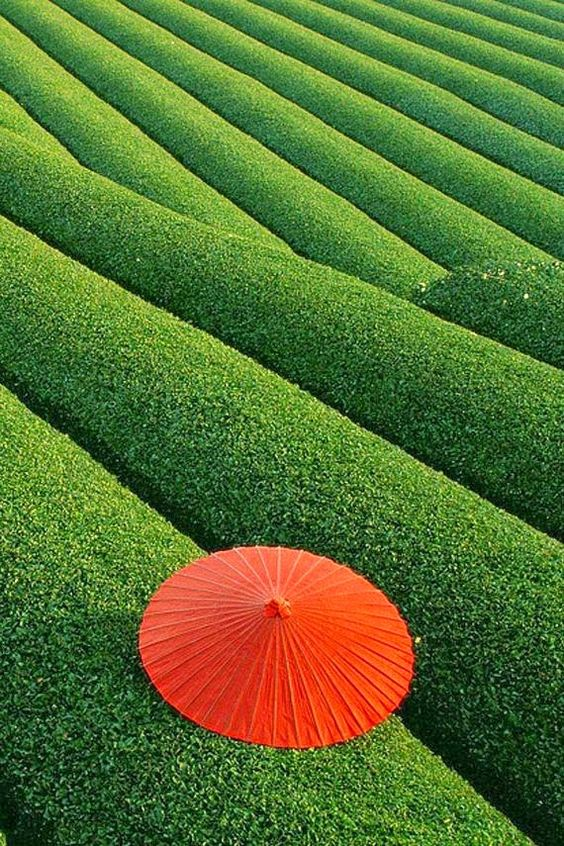 I campi di té in Cina.. Organizzazione e geometria perfetta, vero?