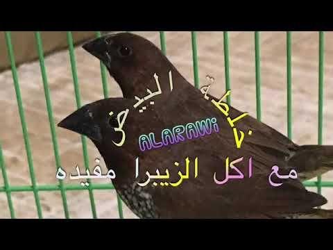 طيور البادجي Youtube Animals