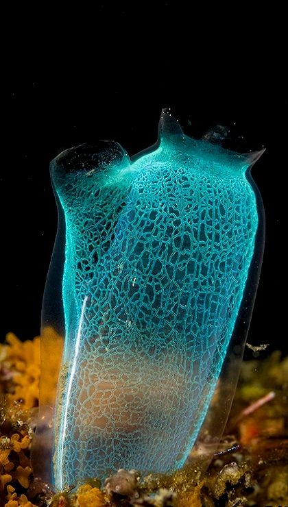 Sea-squirt (tunicate) - Lembeh, Indonesia | Photo by Ross Gudgeon