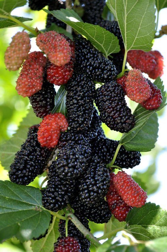 Dâu tằm | Cây ăn quả, Thức ăn, Trái cây