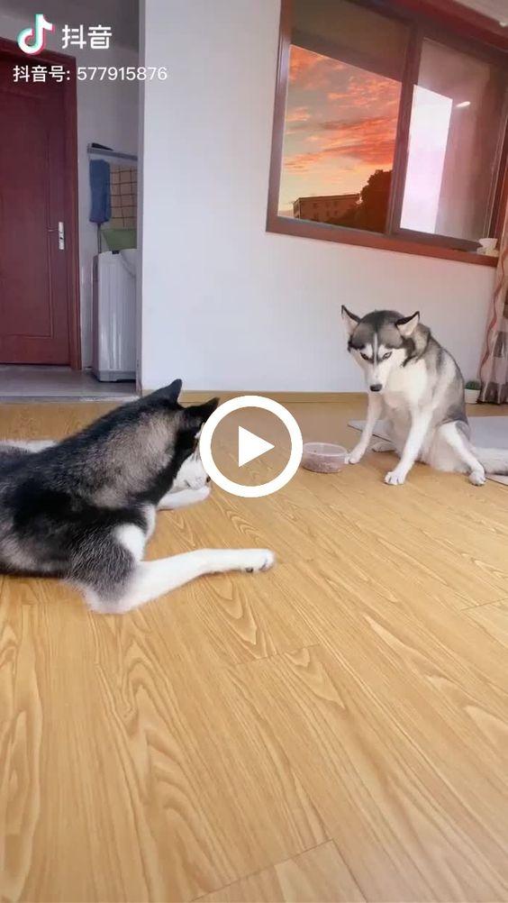 cachorro nao gosta da comida e joga para o outro