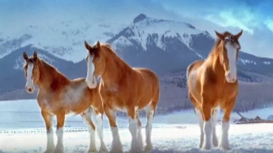 Really Adorable Winter Snowball Fight With Clydesdale Horses (VIDEO)