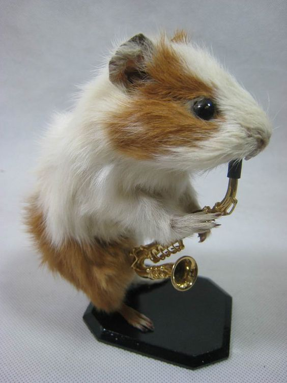 Taxidermy cute small farm animal Real guinea pig playing ...