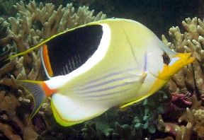 Butterfly Fish, saltwater fish aquarium - Aquatic Connection