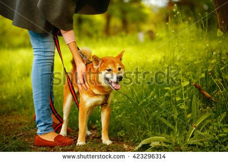 Dogs Shiba Inu stands next to the hostess in the spring park. Walking with a pet. Pedigree dog. Dog walking. Dog leash.