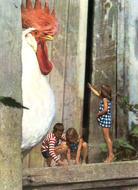 Big rooster!:
