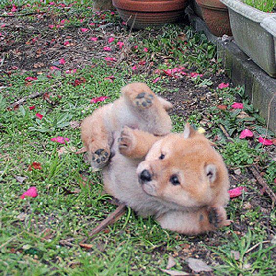 芝生に転がるかわいい子犬