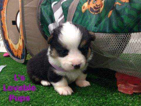 Pembroke Welsh Corgi Puppy For Sale In Asheboro Nc Adn 63742 On Puppyfinder Com Gender Femal Corgi Puppies For Sale Pembroke Welsh Corgi Puppies Welsh Corgi