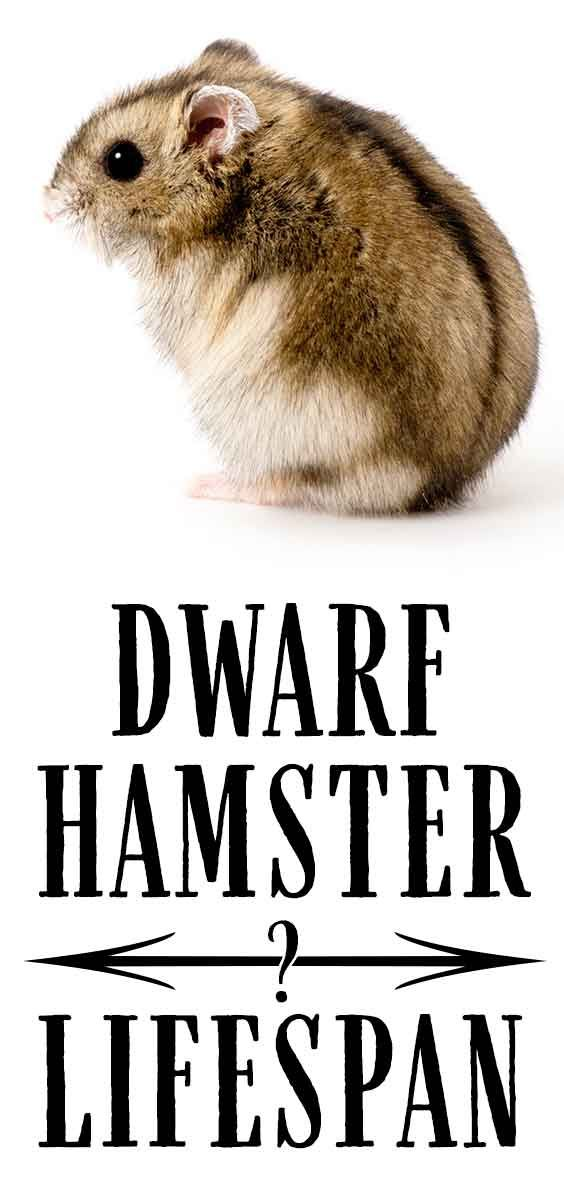 Dwarf Hamster Lifespan How Long Will Your Dwarf Hamster Live In