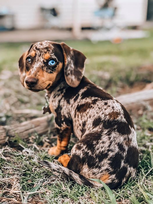 Funny Dachshund House S Rules In 2020 Cute Funny Animals Funny