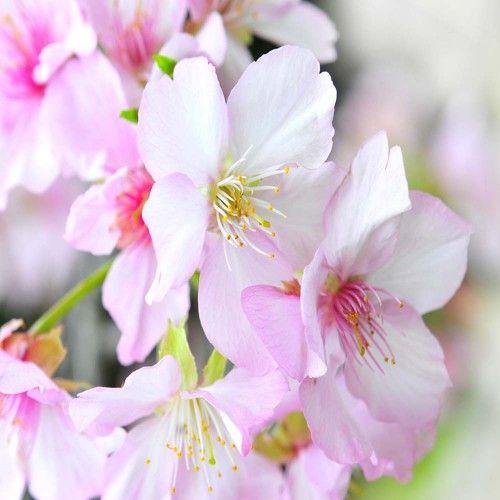 Prunus Amanogawa Upright Pink Cherry Tree 8 10cm 3m Tall Kingco Co Uk Plants For Small Gardens Flowering Trees Cherry Tree