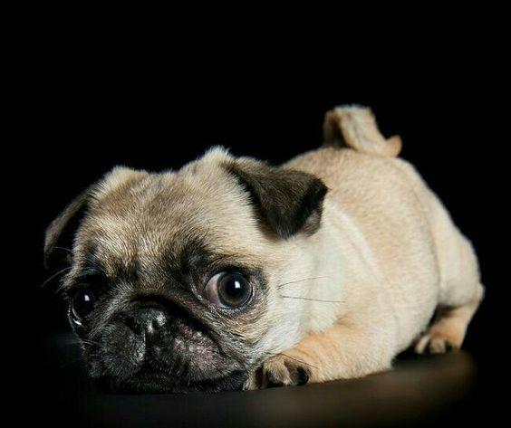 """Is it the Weekend yet?""  @ www.jointhepugs.com  #PugPower #PugLife #PugsofInstagram #VotePug"