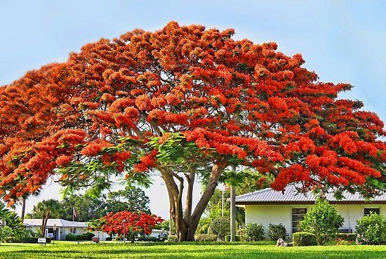 Pin by Mhtbodyguard on Painting in 2020 | Royal poinciana, Poinciana,  Flowering trees