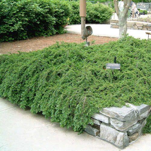 cotoneaster dammeri eichholz jeune plante en godet. cotoneaster