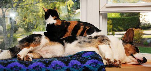 kitty likes corgi futon.