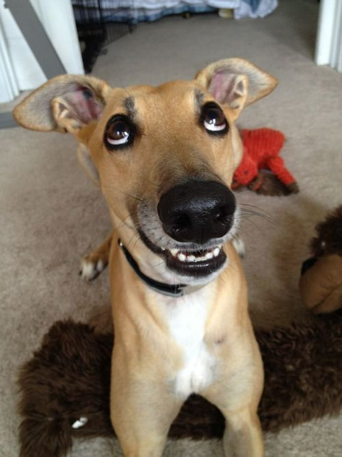 Ridiculous greyhound face  This is Lima Bean&rsquo;s buddy, Bixby. He is RIDICULOUS. Just like his face <img src=